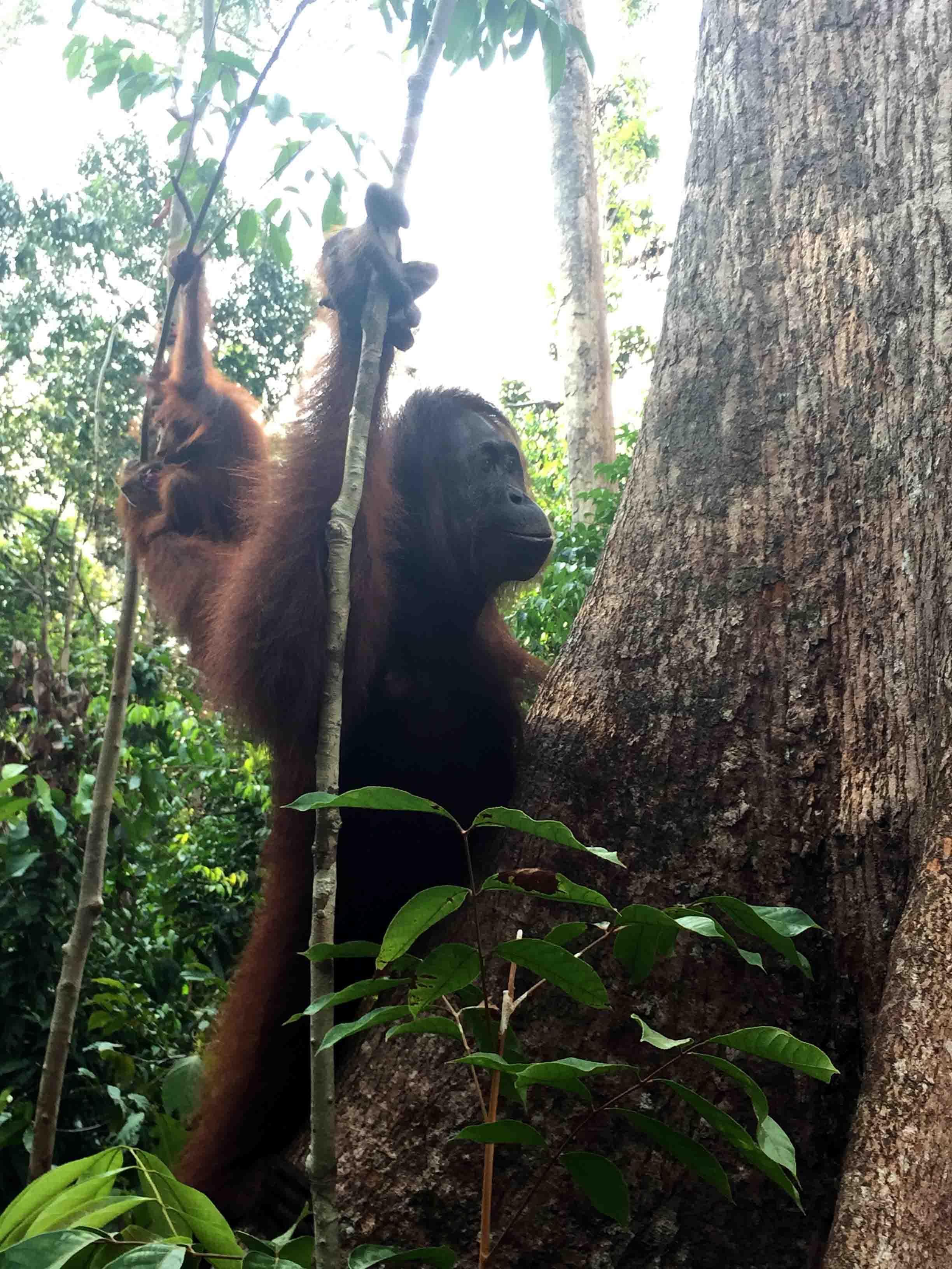 Orangutanes de Tajung Puting